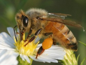 image - honey bee